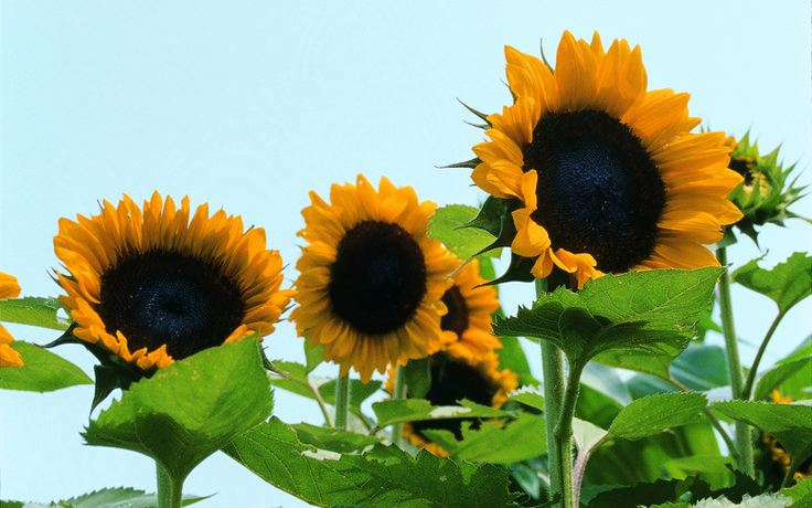 From delicate miniatures to towering giants, sunflowers are totally awesome.