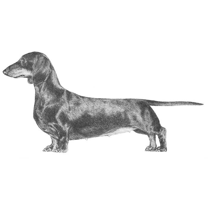 Illustration of the Dachshund breed standard.