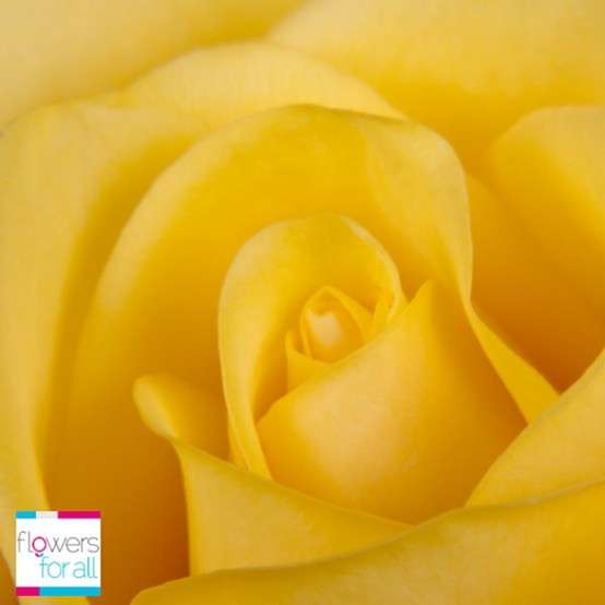 The yellow roses from flowersforall.com convey satisfaction and happiness. Enlight any room with our roses.