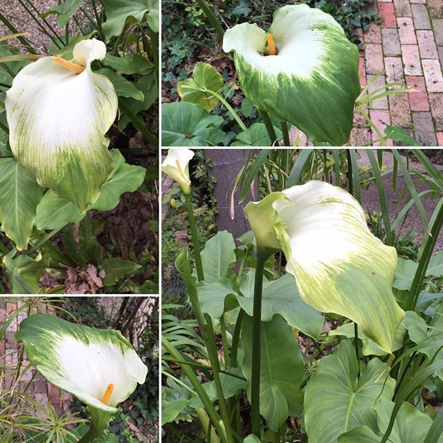 Lovely arum lilies in my garden. Check out my short ghost story 'The Arum Lilies' on jennifeteh1.com