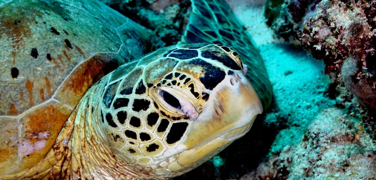The hawk-bill turtle hunts soft corrals and alike to keep growing and reproducing. Derawan is a heaven for turtles to continue their species survive. Photos taken by Cipto - http://www.indonesia.travel