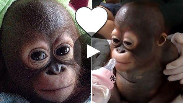 Recueilli et sauvé par une association, le petit Budi, un bébé orang-outan, a réappris à vivre