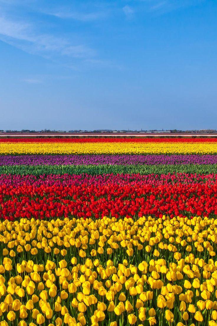 Keukenhof Tulip Field, Netherlands