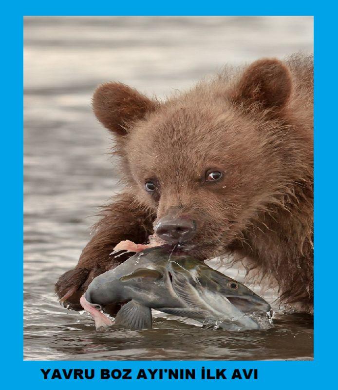 Yavru boz ayının ilk avı