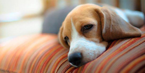 Sufren perros dermatitis atópica