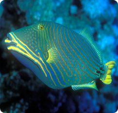 Undulate Triggerfish  Orangelined Triggerfish - Balistapus undulatusUndulate Triggerfish