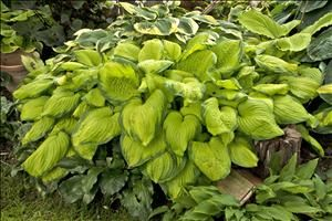 Perennial Results: Plant View - Hosta 'Guacamole'