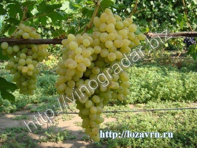 Кишмиш Володар – селекционная форма винограда 2-го класса бессемянности, раннего срока созревания 100 – 110 дней.