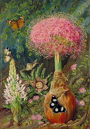 Thinking about fall bulb planting.  Marianne North  Buphane Toxicara and Other Flowers of Grahamstown  19th century