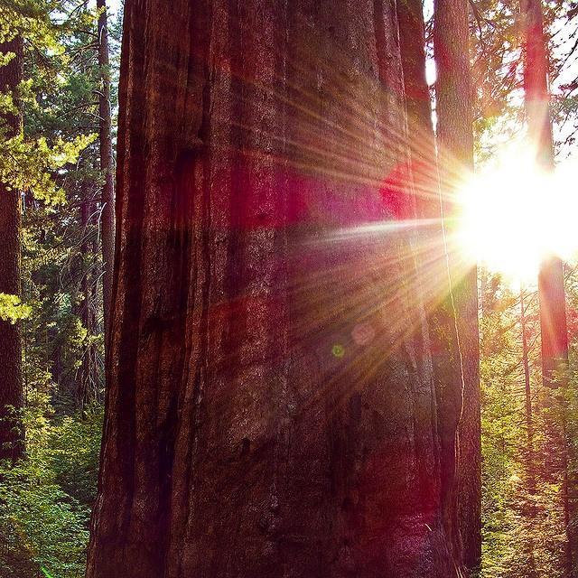 Tuolumne Grove, Yosemite National Park