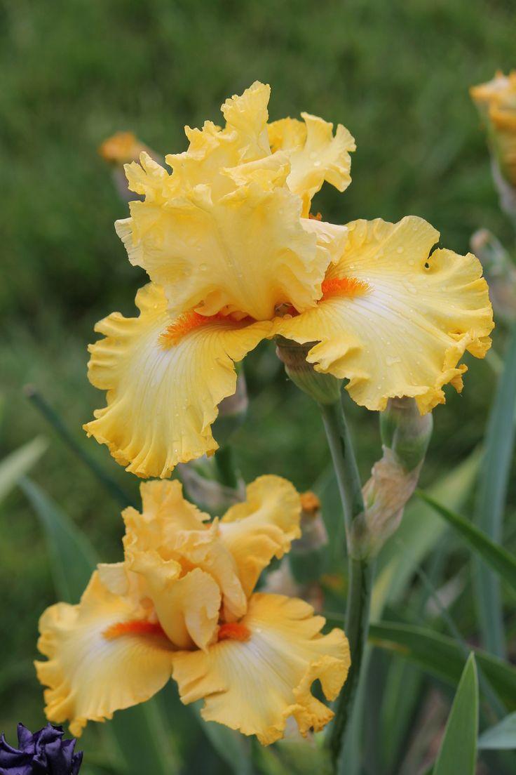 637 best irises my very favorite flower images on pinterest photo of tall bearded iris iris dance til dawn photo location iowa on izmirmasajfo
