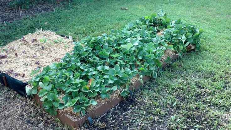 Strawberries & lettuce garden behind it