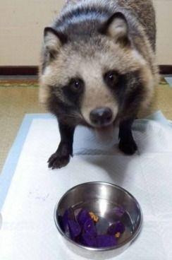 Tanu the TANUKI (Jpn raccoon dog)