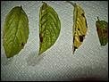 Leaf Spots on basil: 3 fungal leaf spots caused by Cercospora spp. Alternaria spp. & Colletotrichum spp. To reduce incidence of foliar disease always water @base of plants & never wet leaves w/sprinklers.Pull off & dispose of diseased foliage @1st sign of disease. 4 minor fungal foliar disease spray weekly w/fungicide containing potassium bicarbonate, such as Bonide Remedy or GreenCure Organic Fungicide. - http://www.clemson.edu/extension/hgic/plants/vegetables/crops/hgic1327.html