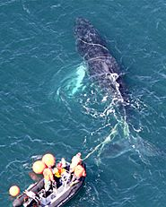 Scientists say entanglement poses a serious obstacle to the recovery of endangered whales on the U.S. east coast, especially North Atlantic right whales, which may number as few as 444. Rope and nets often do the snarling and can involve other types of gear including hooks, buoys, traps, even anchors and other marine debris. Over time, the gear exacts a painful toll. It can slice flesh, deform bone, amputate flukes, and restrict breathing, eating, and swimming as it drags through the water.