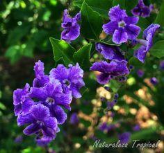 6 plantas que crecen a pleno sol sin ningún problema    El falso Nomeolvides o corona de novia, género Duranta