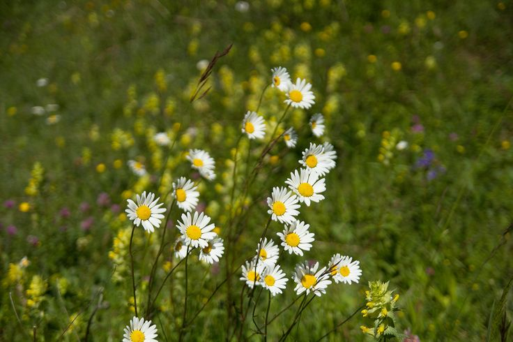 #Argyranthemum ( #marguerite, marguerite daisy, #dill #daisy) is a genus of flowering plants belonging to the family #Asteraceae.