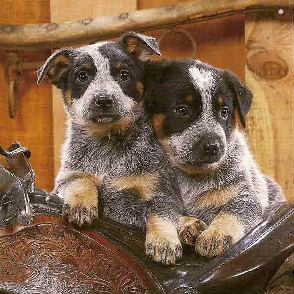 Circle C Australian Shepherds 17 Best images ...