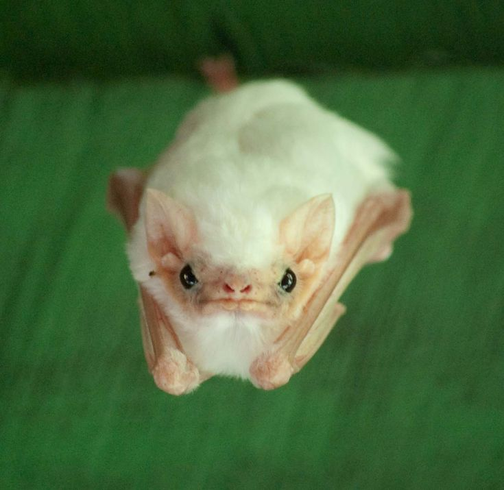The northern ghost bat (Diclidurus albus) is a bat species from South America, Trinidad, and Central America. It is a relatively rare, completely white, insectivorous bat, with an unusual sac at the base of its tail. Specimens infected with rabies have been found in Trinidad.