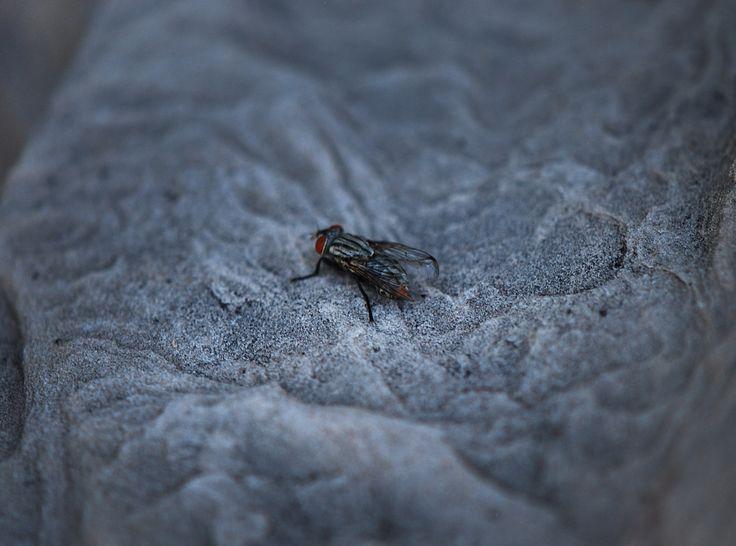 House Fly  PestControl  PestControlTucson  HouseFly  BugsHouse. 19 best Termite Control Tucson images on Pinterest