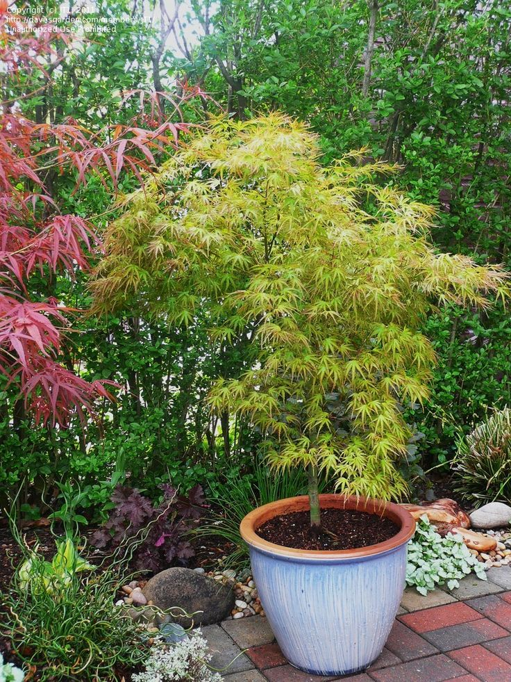 Full size picture of Japanese Maple 'Kamagata' (Acer palmatum)   Great for border to back patio -- nice that it works in container