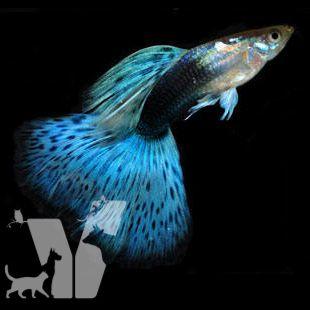 Lepistes ya da İngilizce adıyla guppy, canlı doğuran akvaryum balıklarının bulunduğu Poeciliidae familyasında yer alır.…