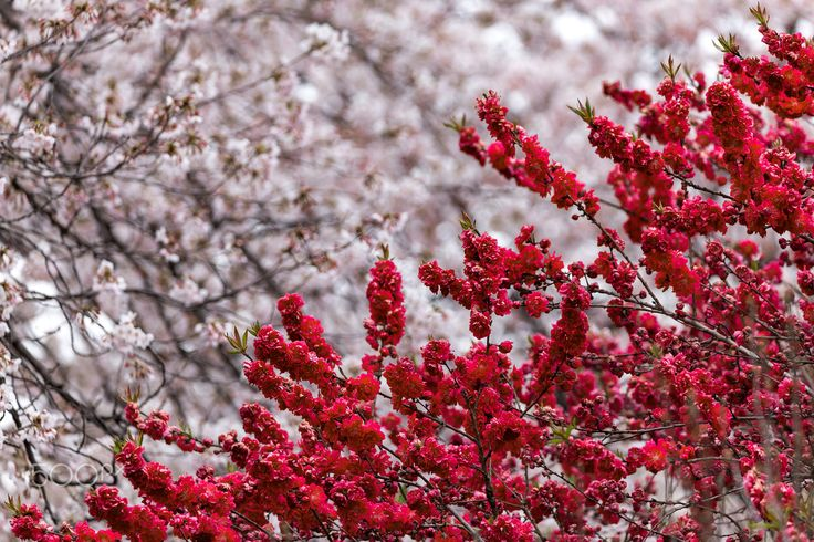 """White and Red (Tokyo) - <a href=""""https://www.facebook.com/blackchilimedia"""">Facebook</a> / <a href=""""https://instagram.com/fbazsi"""">Instagram</a> :) White and Red Sakura (cherry blossoms) in the colors of the Japanese flag Shinjuku Gyoen National Garden, Tokyo"""