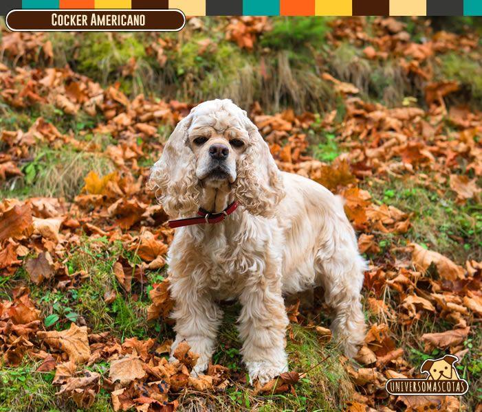 Origen: Reino Unido Tamaño: Mediano. Conoce ce mas de este carismático peludo en: http://www.universomascotas.co/razas/perros/cocker-americano/138