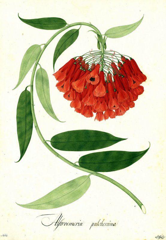 Alstroemeria pulcherrima. Proyecto de digitalización de los dibujos de la Real Expedición Botánica del Nuevo Reino de Granada (1783-1816), dirigida por José Celestino Mutis: www.rjb.csic.es/icones/mutis. Real Jardín Botánico-CSIC.