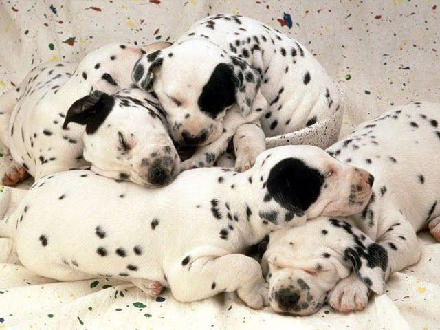 Dalmatian #Dogs