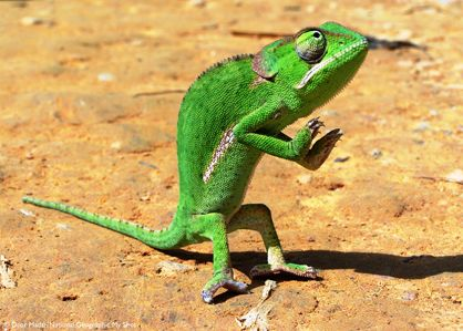 Malawi, Africa   A chameleon rears back on its hind legs