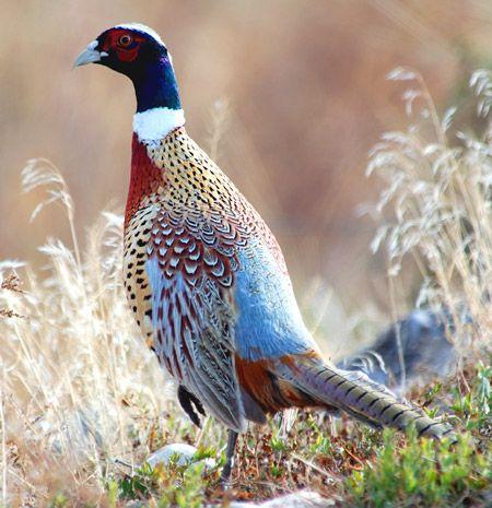 30 millions d'amis magazine aime... Ring-necked Pheasant