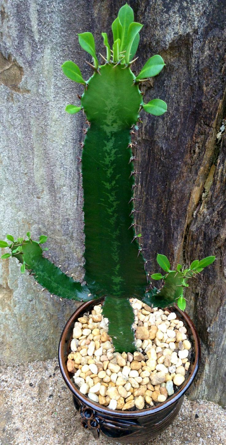 Euphorbia Eritrea Euphorbias And Synadeniums Cacti