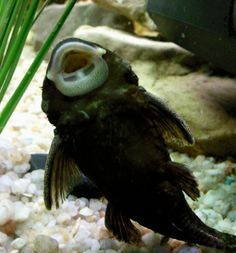 ♥ Fish Care Tips ♥ 9 Best Algae Eaters for Freshwater Aquariums