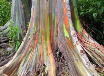 "A curiosa árvore arco-íris - ""Eucalyptus deglupta"": Rainboweucalyptus, Nature, Paintings Trees, Color, Eucalyptus Deglupta, Rainbows Eucalyptus Trees, Rainbow Eucalyptus Tree, Philippines, Papua New Guinea"