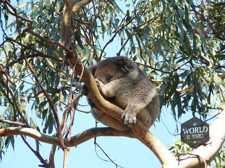 ...Maar we zien wel een ander Australisch icoon tussen de eucalyptusbladeren. Zachte grijze velletjes, grote bruine ogen die meestal dicht zijn omdat ze slapen, en witte pluisoortjes. Als ze niet van die scherpe zwarte nagels hadden, had ik alle elf #koala's die we zien achterin onze campervan geparkeerd. Goede plekken langs de Great Ocean Road (Australie) om koala's te spotten lees je op http://www.myworldisyours.nl/places/great-ocean-road