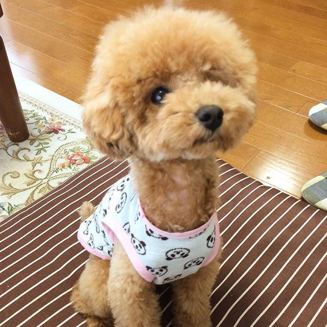 ・ ・ おはようございます☔️ 台風が近付いて来てます。。 ・ 家の周り片付けなくちゃ💦💦 ・ ・ #トイプードル#女の子#レッドプードル#わんこ#dog#ふわもこ部#愛犬#しつけ#poodle#toypoodle#puppy#fluffy#toypoodles#toypoodlelover#