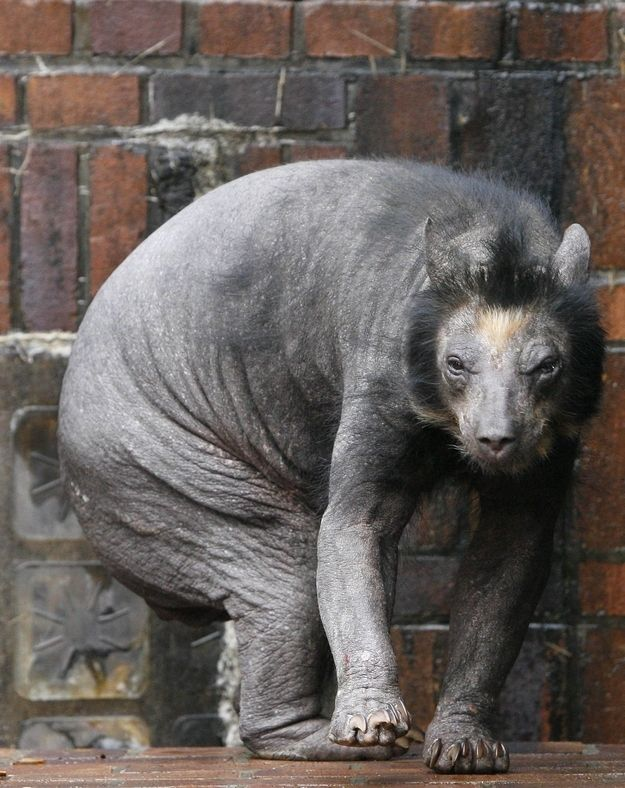 To be fair, this bear lost all its fur due to a mysterious illness. But still! Who knew that bears were one close shave away from looking like hell-hounds?