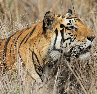 Search best location and Indian wildlife tour to easily contact for TI InfoTech. Wildlife tourism place like as Wildlife safari in India, Dudhwa National Park this place is India's best Naturalists.