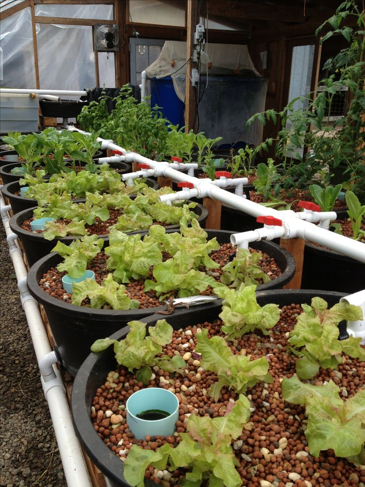 58 best images about aquaponics on pinterest for Aquaponics fish