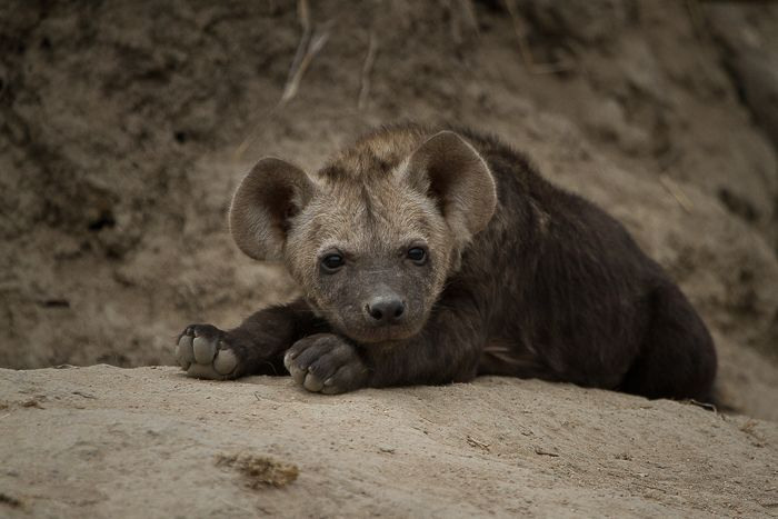 Hyena numbers continue to grow due to the lack of a constant presence of dominant male lions on the property. This adorable little cub took a break from feeding whilst its sibling remained to suckle from its mother. Photograph by Callum Gowar