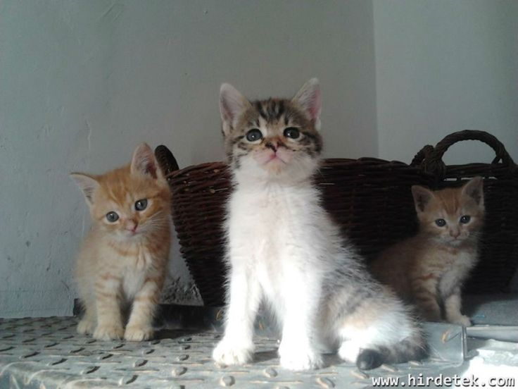 6 hetes kiscicák Ingyen elvihetőek,az egyik vöröske fiú,a másik vörös és a kis foltos,kislány. Önállóan esznek,elevenségből nincs hiány. A kiscicák Litérről vihetőek el,ami Veszprémtől kb 10...