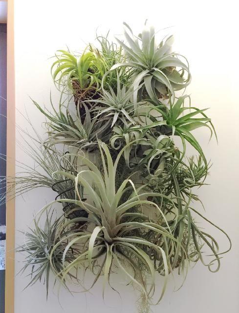 壁/天井の画像 by Tenさん   壁/天井とチランジアとチランジア属と自慢の観葉植物コンテストと観葉植物とエアープランツのオブジェとアレンジとエアプランツとTen'sチランジア