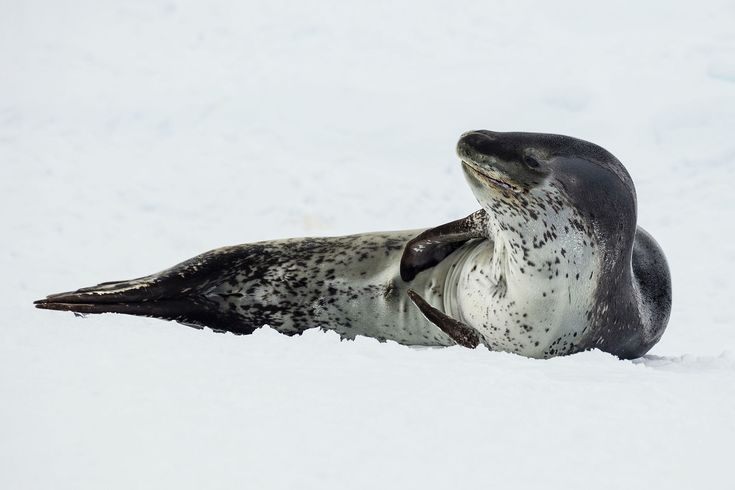 The Leopard Seal Hydrurga leptonyx is one of the Antarctic's fiercest predators. With their strong, muscular body and powerful jaws filled with long teeth, these are the most formidable seals at hunting in the world. Their diet can consist of fish, sea birds (including penguins), other seals, squid, and shellfish.  Photo: Andrew Shiva/Wikimedia Commons (CC BY-SA 4.0)