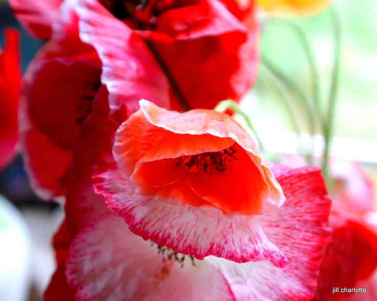 Beautiful Shirley Poppies from garden