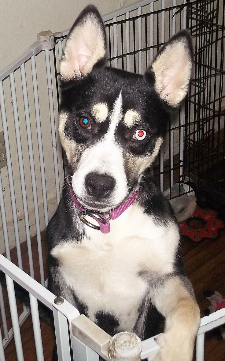 Husky puppies for adoption in california - Siberian Husky Dog For Adoption In Pacific Grove Ca Adn 484221 On Puppyfinder