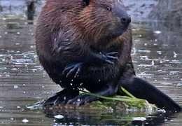 The bashful beaver...
