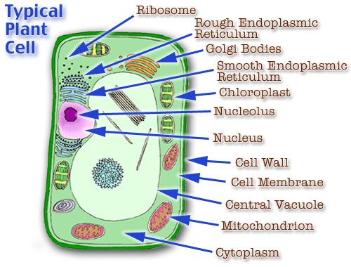 Plant Cell Model Cell Model Diagram Project Parts Structure