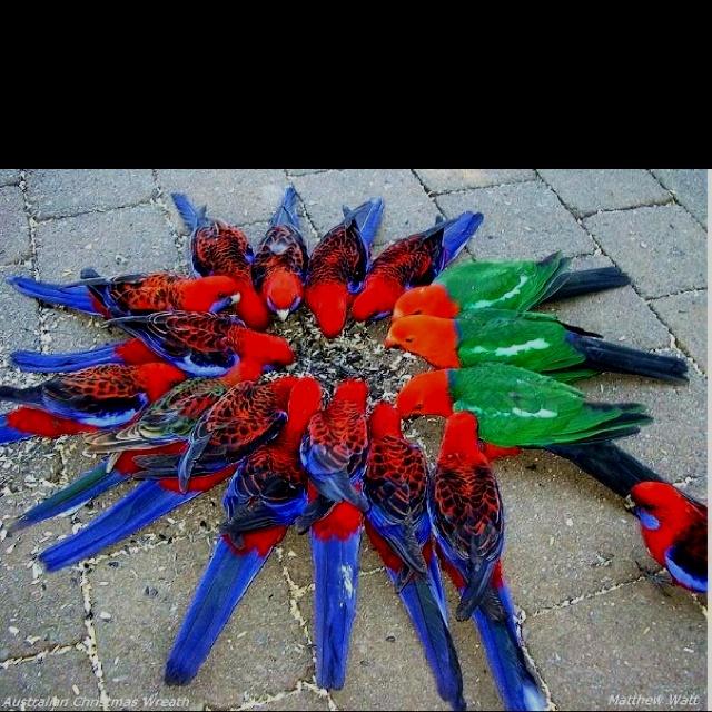 Australian Christmas wreath...Crimson Rosella's & King Parrots