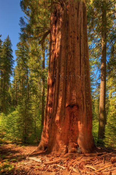 Sequoia Tree, Tuolumne Grove of the Giant Sequoias, Yosemite ...
